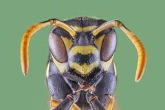 Vista frontale della vespa su fondo bianco, macro primo piano immagine stock libera da diritti