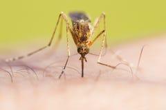 Vista frontale della zanzara Fotografia Stock