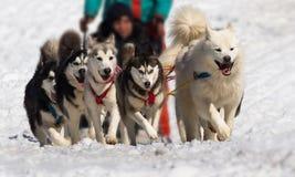 Vista frontale di corsa della slitta tirata da cani immagine stock libera da diritti