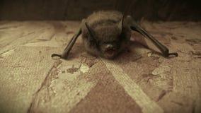 Vista frontale di grande pipistrello marrone immagine stock