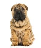 Vista frontale di un cucciolo di pei di Shar che si siede e che esamina la macchina fotografica Immagini Stock Libere da Diritti