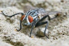 Vista frontale grigia della mosca fotografie stock