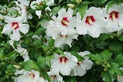 Vista general de flores y de inflorescencias de un hibisco blanco f imagen de archivo