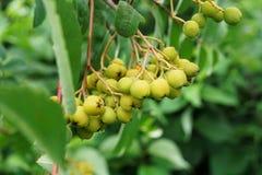 Vista general de las frutas jovenes y verdes del lantana del viburnum v fotografía de archivo