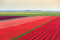 Vista geral do campo da tulipa Fotos de Stock Royalty Free