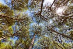 Vista granangular de los árboles de pino Foto de archivo