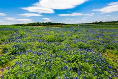 Vista grandangolare dei Wi famosi di Texas Bluebonnet (texensis del lupinus) Fotografie Stock