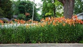 Vista grandangolare del giardino del giglio di tigre Fotografia Stock