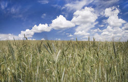 Vista hermosa de los campos de trigo Imagenes de archivo