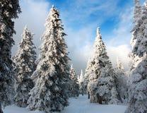 Vista hivernal hermosa de la madera nevosa Foto de archivo libre de regalías