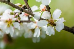 Vista horizontal del cierre para arriba de la rama florecida de la almendra con una abeja Foto de archivo