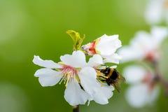 Vista horizontal del cierre para arriba de la rama florecida de la almendra con una abeja Fotos de archivo libres de regalías