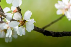 Vista horizontal del cierre para arriba de la rama florecida de la almendra con una abeja Imagen de archivo