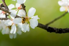 Vista horizontal del cierre para arriba de la rama florecida de la almendra con una abeja Imagen de archivo libre de regalías