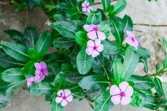 vista indiana di fine della pianta della vinca del Madagascar del fiore del ` al giardino rurale della casa alla mattina di stagi Immagini Stock Libere da Diritti