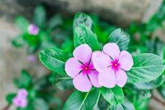 vista indiana di fine della pianta della vinca del Madagascar del fiore del ` al giardino rurale della casa alla mattina di stagi Fotografia Stock