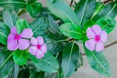 vista indiana di fine della vinca del Madagascar del fiore del ` al giardino rurale della casa alla mattina di stagione invernale Fotografia Stock Libera da Diritti