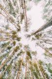 Vista inferior de árboles viejos altos en bosque del pino del otoño Imagen de archivo libre de regalías