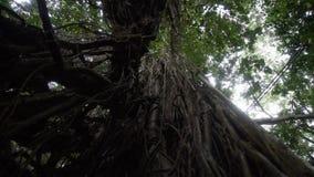 Vista inferior de la selva tropical vieja del árbol en Bali Indonesia almacen de metraje de vídeo