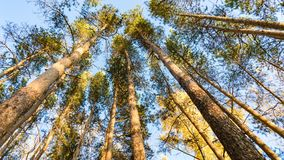 Vista inferior de los árboles de pino en el bosque del otoño, Tomsk, Siberia fotos de archivo
