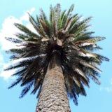 Vista inferior de uma palmeira foto de stock