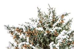 Vista inferior de un árbol de abeto nevado con conos Imagen de archivo libre de regalías