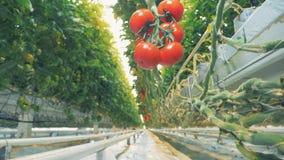 Vista inferior de una rama de la ejecución con un racimo de tomates maduros que cuelgan en él metrajes