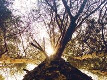 Vista inferior del árbol de pino Imagen de archivo
