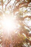 Vista inferior del árbol grande en la salida del sol, rayo de oro que emite en las plantas tropicales en las ramas del árbol Khao imagen de archivo