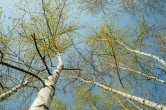 Vista inferior del bosque del abedul en luz del sol por la mañana de la primavera Fotos de archivo