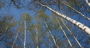 Vista inferior del bosque del abedul en luz del sol por la mañana de la primavera Imagen de archivo libre de regalías