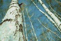 Vista inferior del bosque del abedul en luz del sol por la mañana de la primavera Fotos de archivo libres de regalías