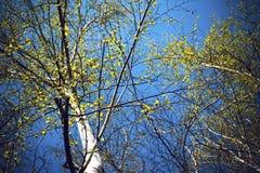 Vista inferior del bosque del abedul en luz del sol por la mañana de la primavera Fotografía de archivo