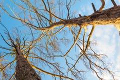 Vista inferior del árbol de pino Imagenes de archivo