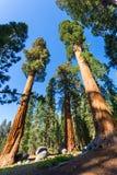 Vista inferior em pinheiros gigantes Fotografia de Stock Royalty Free
