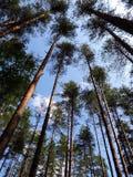 A vista inferior em troncos e em coroas Foto de Stock Royalty Free