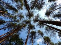 A vista inferior em troncos e em coroas Fotos de Stock Royalty Free