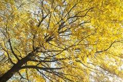 Vista inferior no folhas coloridos em Autumn Trees no Fotografia de Stock
