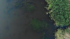 Vista inferior que fecha-se à lagoa com as rãs grandes que sentam-se na grama da água vídeos de arquivo