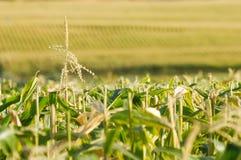 Vista infinita del campo di cereale Fotografia Stock Libera da Diritti