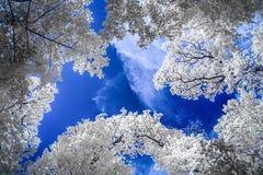 Vista infravermelha de árvores altas sob céus azuis com nuvens brancas fotos de stock