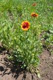 Vista integral del aristata floreciente del Gaillardia Foto de archivo