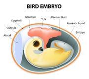 Vista interior de um ovo dos pássaros ilustração royalty free