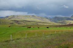Vista islandese con le mucche immagine stock