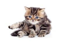 Vista isolada ingleses pequena do tabby do gatinho para baixo Imagens de Stock