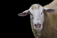 Vista isolata di una testa del ` s delle pecore Fotografia Stock Libera da Diritti