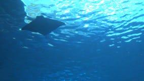 vista 4k del rayo de manta gigante subacuático, natación de los birostris del manta de las siluetas almacen de metraje de vídeo