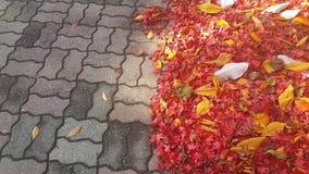 a vista 4K, fecha-se acima da vista das folhas vermelhas douradas da nogueira-do-Japão na terra video estoque