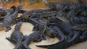 Vista 4k Florida S.U.A. di fine dell'azienda agricola dell'alligatore di giorno di estate stock footage