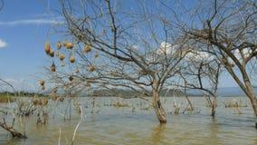 Vista larga de ninhos do pássaro do tecelão no baringo do lago, kenya vídeos de arquivo